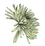 asteria white för tree för bakgrundsteckningsblyertspenna Royaltyfri Bild