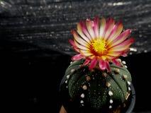 Asterias de Astrophytum Imagen de archivo libre de regalías
