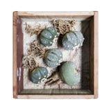 Asterias e Lophophora de Astrophytum na caixa de madeira imagens de stock