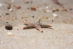 Asterias rubens di specie delle stelle marine con l'assicella, primo piano di vista su una sabbia di mare costiera dopo la marea  Immagine Stock Libera da Diritti