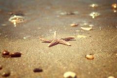 Asterias rubens di specie delle stelle marine con l'assicella, primo piano di vista su una sabbia di mare costiera dopo la marea  Fotografia Stock Libera da Diritti