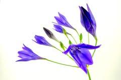 Asterisco azul Foto de archivo libre de regalías