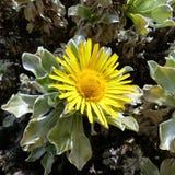 Asteriscus-sericeus Bubonium-intermedium Lizenzfreies Stockfoto