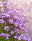 Asternovi-belgii i trädgårds- blomsterrabatt i höst Arkivbilder
