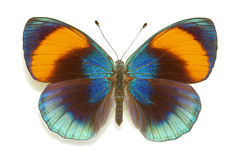 asterope sapphira πεταλούδων Στοκ εικόνα με δικαίωμα ελεύθερης χρήσης