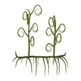 Asteroxylon sp-växter royaltyfri illustrationer