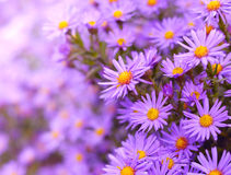Asters Royalty Free Stock Photos