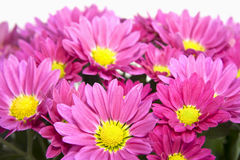 Asters. Closeup of pink aster blossoms Royalty Free Stock Photography