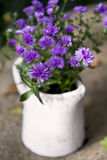 Asters Royalty Free Stock Photography