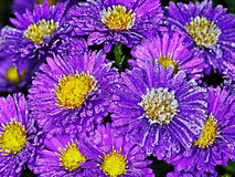Asters stock foto