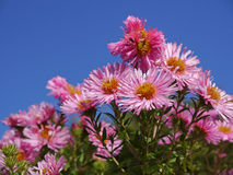 asters Fotografia de Stock