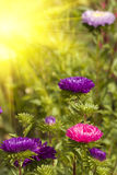 Asters autumn flowers. In bright sunlight Stock Image