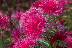 Asters Stock Image