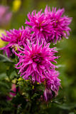 Asters. Beautiful Asters with rain droplets on the petals Stock Photo