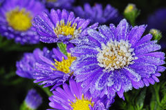 Asters Stock Photos