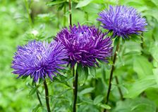 Asters Stock Images