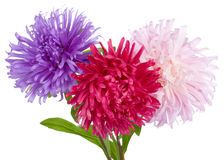 Asters Bouquet Isolated Stock Photo