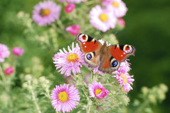 Asters with butterfly Stock Images
