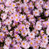 Asters d'automne Photo stock