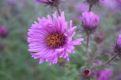 Aster Flowers Pink - Asters bloom summer to fall Royalty Free Stock Photos
