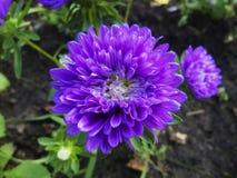Asters dans le jardin pendant l'été sur le lit photographie stock