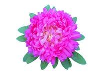 Asters de fleur avec le pétale Photo stock