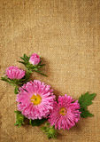 Asters decoration. On canvas background Royalty Free Stock Images