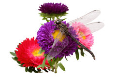 Asters and dragonfly Stock Photos