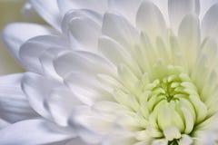 Asters et chrysanthèmes blancs de fond photo libre de droits