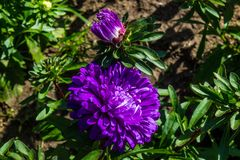 Asters fall in the garden. Purple buds. royalty free stock image
