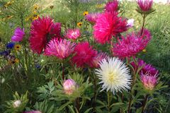 asters flower beds Royalty Free Stock Image