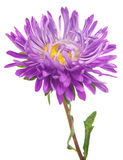 Asters flower Royalty Free Stock Image