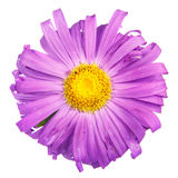 Asters flower Royalty Free Stock Photo