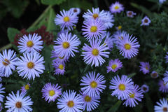 Asters. Flowers / Asters - beautiful garden flowers Royalty Free Stock Image