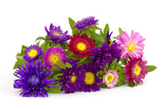 Asters flowers on white background Royalty Free Stock Image