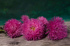 Asters frais photo stock