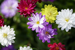 Asters Stock Photography
