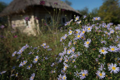 Asters in the garden near old house Stock Image