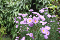 Asters in a Garden Royalty Free Stock Photo
