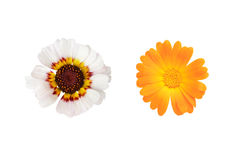 Asters isolated on white. Two decorative asters on white background Royalty Free Stock Images