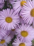 Asters lilas Images stock
