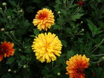 Asters, Petunia and marigolds. royalty free stock image