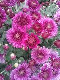 Asters pourpres d'automne Photo stock