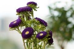 Asters pourpres dans un vase sur un rebord de fenêtre Image libre de droits