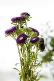 Asters pourpres dans un vase sur un rebord de fenêtre Photo stock