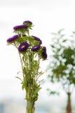 Asters pourpres dans un vase sur un rebord de fenêtre Images libres de droits