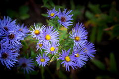 Asters pourpres Flower Mound Image stock