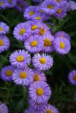 Asters. Purple flowers on a background of grass Royalty Free Stock Photo