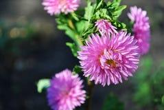 Asters roses photo libre de droits