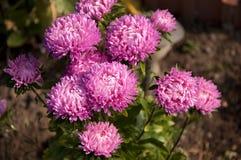Asters roses Photographie stock libre de droits